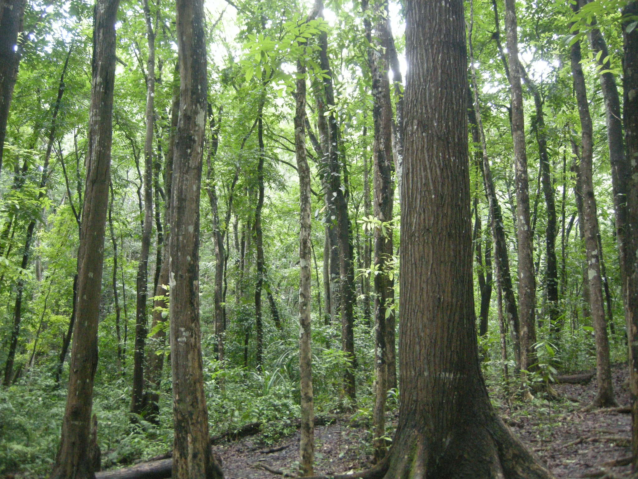 Manmade Mahogany Forest